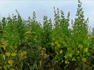 Biogaswildpflanzen (Foto: Alfred Schermann)