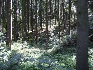 stiller Wald (Foto: Alfred Schermann)